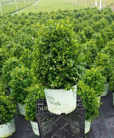 Buxus x 'Cranberry Creek' - 3 Gal. Crop Shot for 2019-26