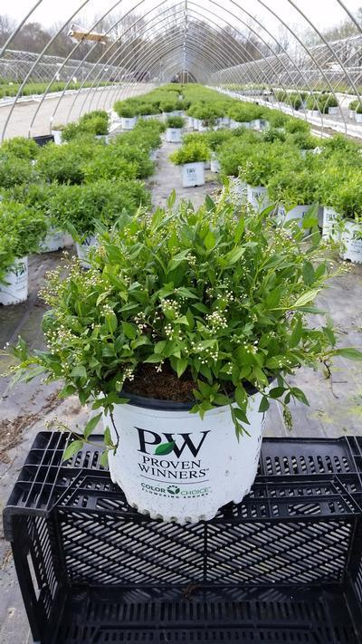 Deutzia X 'Yuki Cherry Blossom™' - #3 Crop Shot for 2018-18
