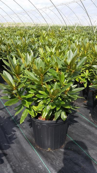 Rhododendron catawbiense 'Chinoides' - 3 Gal. Crop Shot for 2019-38