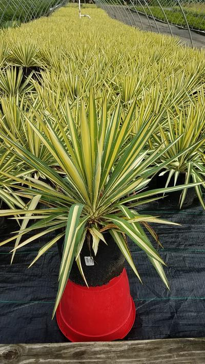 Yucca filamentosa 'Color Guard' - #3 Crop Shot for 2018-32