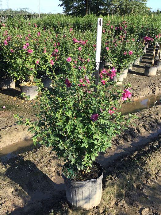 Hibiscus syriacus 'Lucy' - 7 Gal. Multi Stem Crop Shot for 2020-30