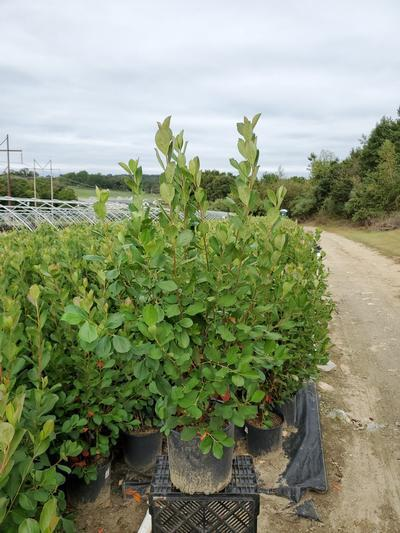 Aronia arbutifolia 'Brilliantissima' - 3 Gal. Crop Shot for 2020-37