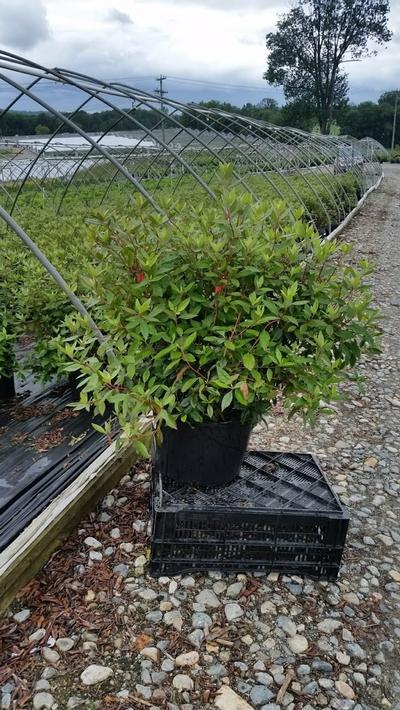 Rhododendron catawbiense 'Nova Zembla' - 5 Gal. Crop Shot for 2019-24