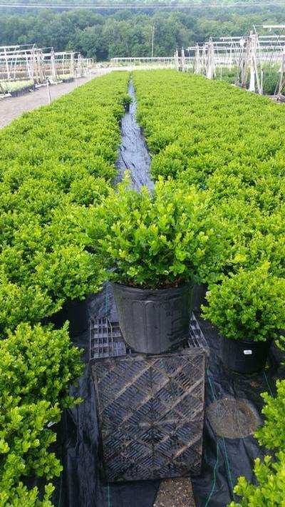 Buxus microphylla 'Winter Gem' - 3 Gal. Crop Shot for 2019-30