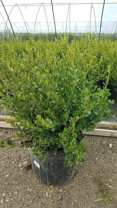 Buxus microphylla 'Winter Gem' - #3 Crop Shot for 2018-35