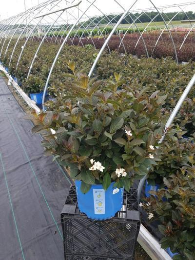 Weigela x 'Tuxedo' - 3 Gal. Crop Shot for 2020-29
