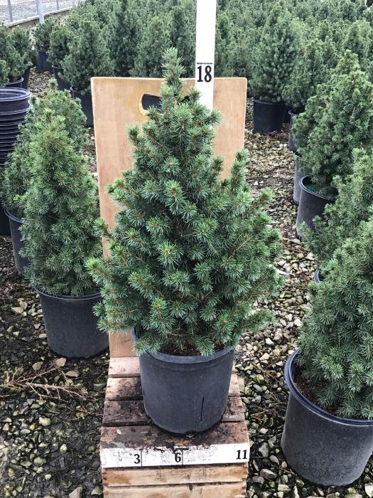 Picea glauca 'Conica' - 2 Gal. Crop Shot for 2020-43