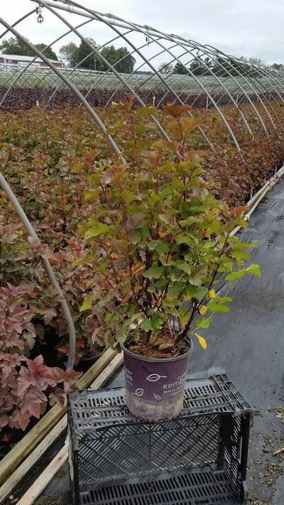 Physocarpus opulifolius 'Amber Jubilee™' - 2 Gal. Crop Shot for 2019-39