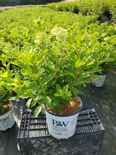 Hydrangea paniculata 'Little Lime®' - 2 Gal. Crop Shot for 2020-34
