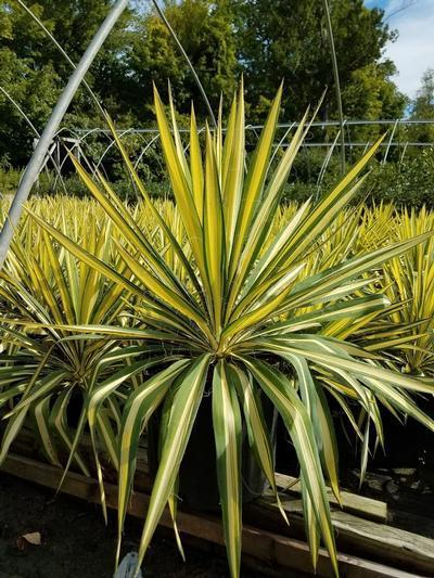 Yucca filamentosa 'Color Guard' - 3 Gal. Crop Shot for 2019-37