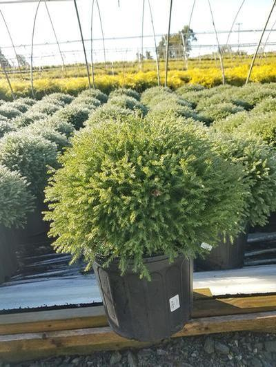 Thuja occidentalis 'Mr. Bowling Ball' - 3 Gal. Crop Shot for 2019-39