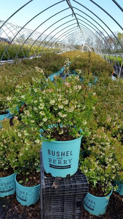 Vaccinium 'Blueberry Glaze' - 2 Gal. Crop Shot for 2019-18
