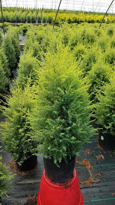 Juniperus communis 'Gold Cone' - #2 Crop Shot for 2018-32