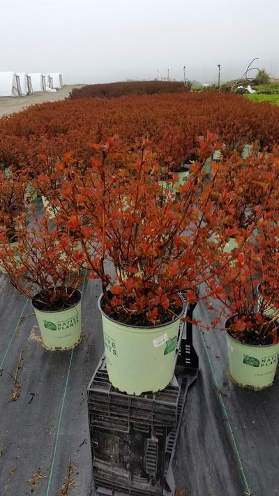 Physocarpus opulifolious 'Center Glow' - 2 Gal. Crop Shot for 2019-17