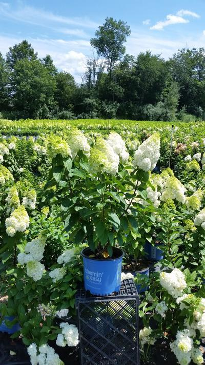 Hydrangea paniculata Lavalamp™ 'Moonrock™' - 3 Gal. Crop Shot for 2019-30