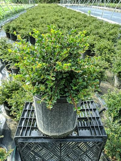 Cotoneaster adpressus 'Little Gem' - 2 Gal. Crop Shot for 2020-27