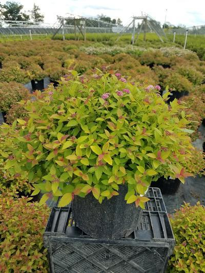 Spiraea japonica 'Magic Carpet' - 3 Gal. Crop Shot for 2019-30