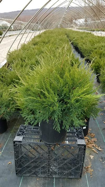 Juniperus chinensis 'Sea Green' - 3 Gal. Crop Shot for 2020-12