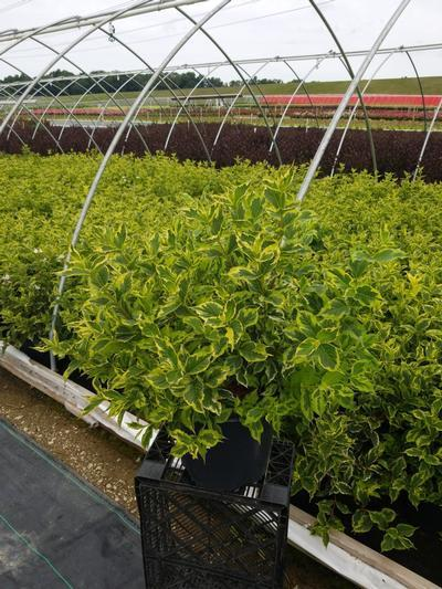 Weigela praecox 'Variegata' - 3 Gal. Crop Shot for 2020-29