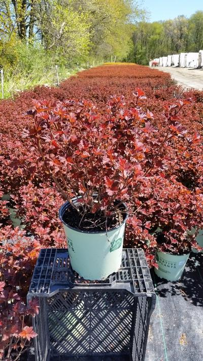 Physocarpus opulifolious 'Center Glow' - 2 Gal. Crop Shot for 2019-18