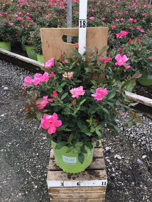 Rosa Knock Out 'Pink' - 2 Gal. Crop Shot for 2020-30