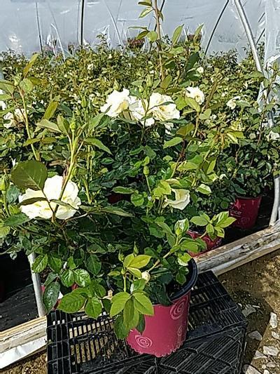 Rosa EASY ELEGANCE® 'Garden Art Macys Pride' - 2 Gal. Crop Shot for 2020-21