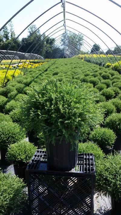 Thuja occidentalis 'Mr. Bowling Ball' - 2 Gal. Crop Shot for 2019-32