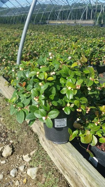Gaultheria procumbens 'Peppermint Pearl' - 1 Gal. Crop Shot for 2019-42