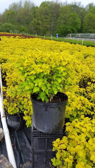 Physocarpus opulifolius 'Gumdrop Lemon Candy' - 3 Gal. Crop Shot for 2019-19
