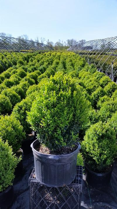 Buxus microphylla var. japonica 'Green Mountain' - 5 Gal. Crop Shot for 2019-19