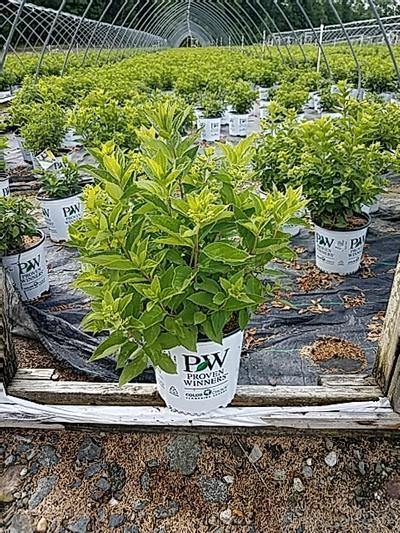 Hydrangea paniculata 'Little Lime®' - 2 Gal. Crop Shot for 2020-25