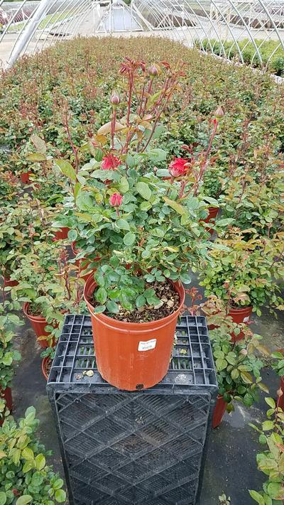 Rosa True Passion™ Rose - 2 Gal. Crop Shot for 2019-19