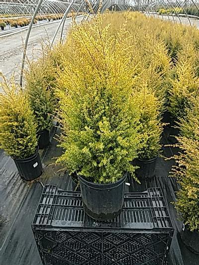 Juniperus communis 'Gold Cone' - 2 Gal. Crop Shot for 2020-16