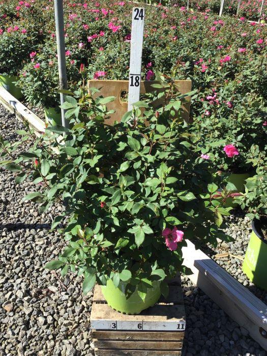 Rosa Knock Out 'Pink' - 2 Gal. Crop Shot for 2020-36