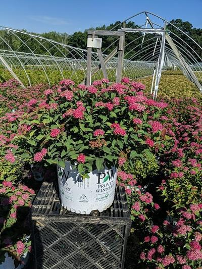 Spiraea jap. Double Play® Doozie™  NEW - 3 Gal. Crop Shot for 2020-30