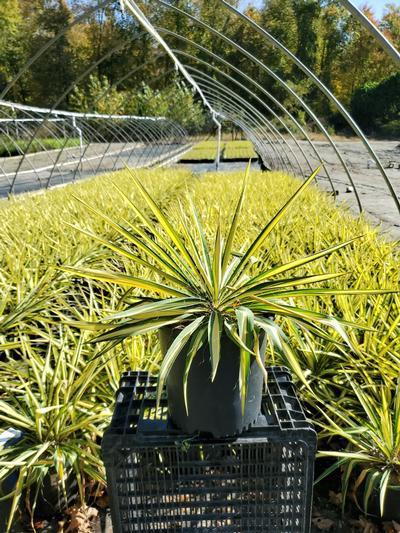 Yucca filamentosa 'Color Guard' - 3 Gal. Crop Shot for 2020-41