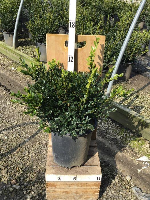 Buxus microphylla 'Green Velvet' - 2 Gal. Crop Shot for 2020-41