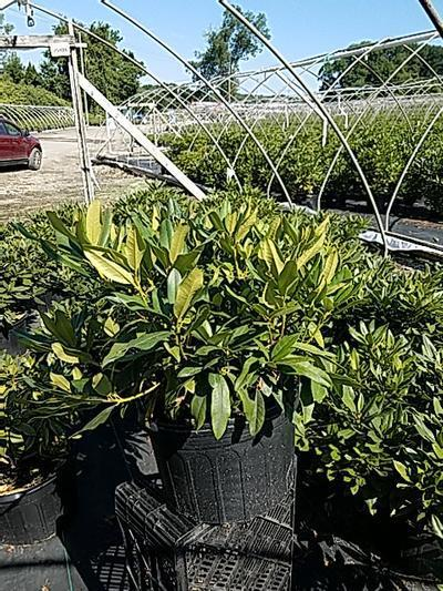 Rhododendron catawbiense 'Chinoides' - 5 Gal. Crop Shot for 2020-25
