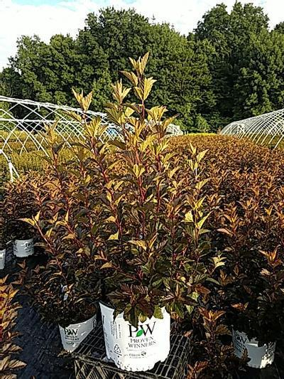 Physocarpus opulifolius 'Ginger Wine™' - 3 Gal. Crop Shot for 2020-30