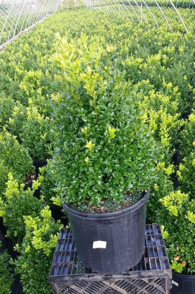 Buxus microphylla var. japonica 'Green Mountain' - 3 Gal. Crop Shot for 2019-30