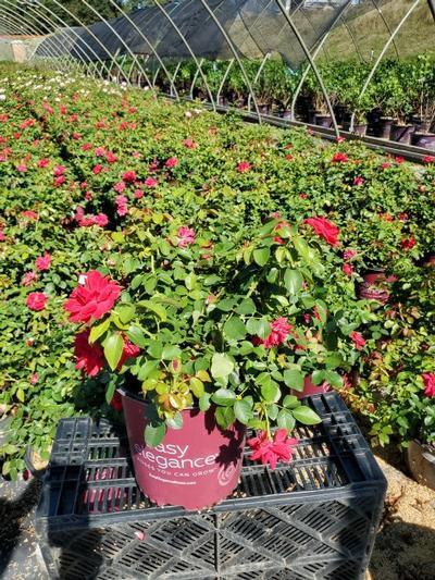 Rosa EASY ELEGANCE® 'Garden Art Super Hero' - 2 Gal. Crop Shot for 2020-33