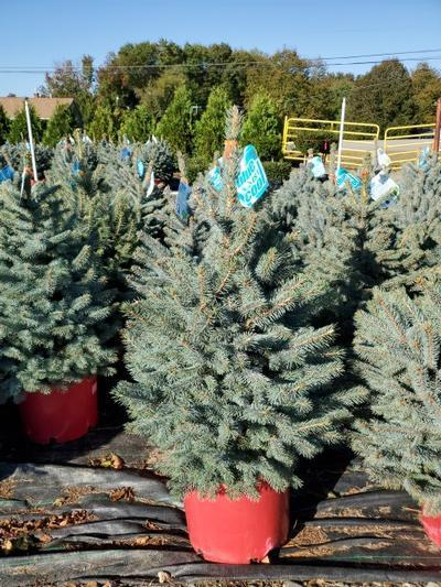Picea pungens 'Baby Blue' - 7 Gal. Crop Shot for 2020-39