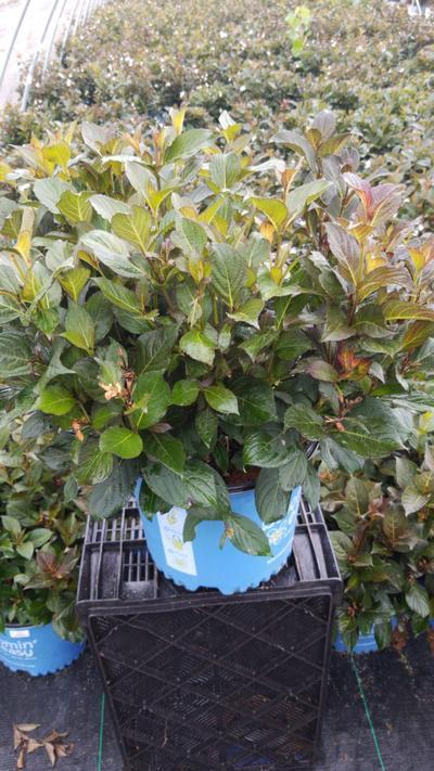 Weigela x 'Tuxedo' - 3 Gal. Crop Shot for 2020-30