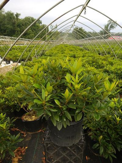 Rhododendron catawbiense 'Chinoides' - 5 Gal. Crop Shot for 2020-31