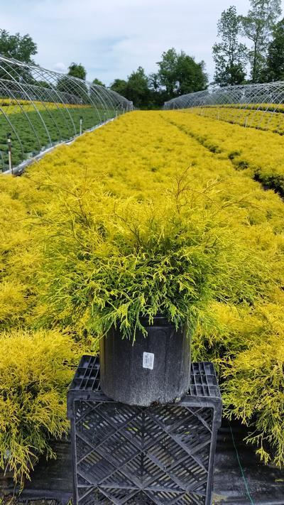 Chamaecyparis pisifera 'Filifera Aurea' - 3 Gal. Crop Shot for 2019-22