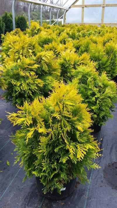 Thuja plicata '4Ever Goldy' - #5 Crop Shot for 2018-18