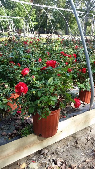 Rosa True Passion™ Rose - 2 Gal. Crop Shot for 2019-39