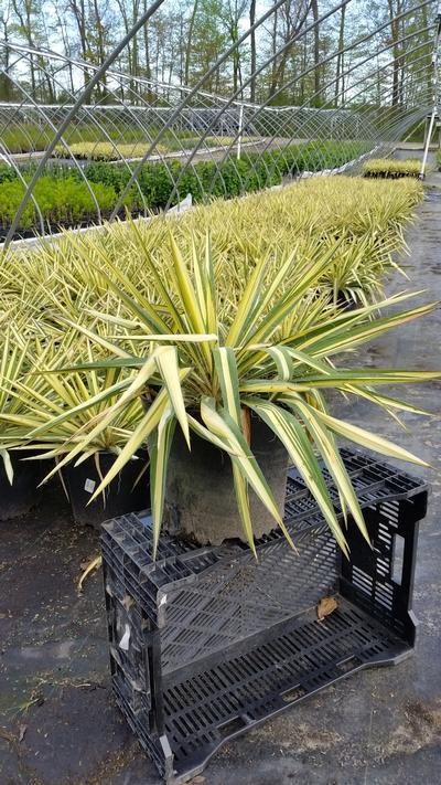 Yucca filamentosa 'Color Guard' - 3 Gal. Crop Shot for 2019-19