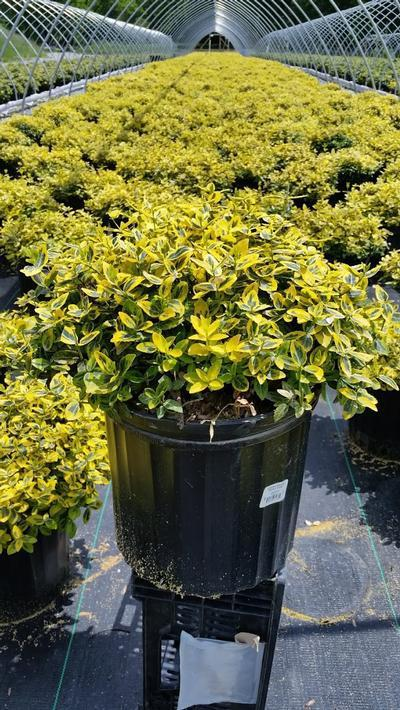 Euonymus fortunei 'Emerald N Gold' - 3 Gal. Crop Shot for 2019-21