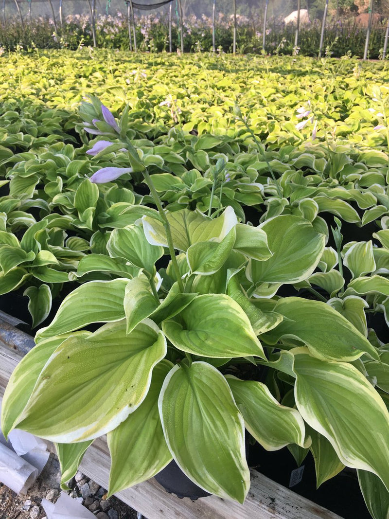 Hosta 'Fragrant Bouquet' - #1 Crop Shot for 2017-35